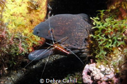 An eel at a cleaning station open wide Bali by Debra Cahill