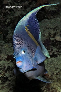 """Face to Face with an Angel""- A Yellow Marked Angelfish by Andre Philip"