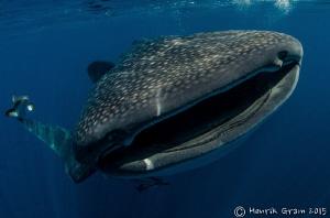 Qatar Whaleshark by Henrik Gram Rasmussen