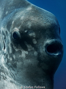 Only a Mother. Southern Ocean Sunfish - Mola ramsayi. Pan... by Stefan Follows