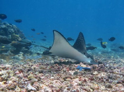 Eagle ray on the prowl by Laura Dinraths