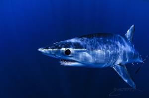 ~ Mako Monday ~  I will happily take a blue Monday like... by Geo Cloete