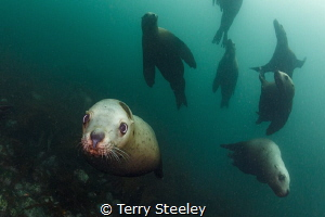Steller sea-lion squadron by Terry Steeley