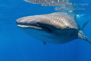 Whale Shark in the Blue, Isla Contoy México by Alejandro Topete