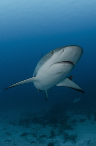 The close encounter with caribbean reef shark. by Dmitry Starostenkov