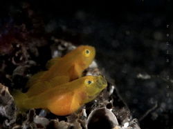 pregnant goby yawning taken at lembeh strait with Oly EM1... by Eng Guan Goh