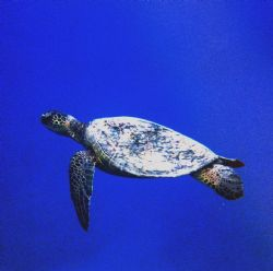 My last turtle entry for a while, we saw about eight turt... by Chris Lawford