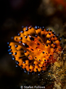Fuzzball. Nudibranch - Janolus sp. Bali, Indonisia - EM5-... by Stefan Follows