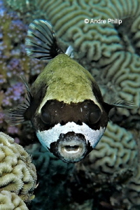 Masked Puffer (Arothron diadematus) by Andre Philip
