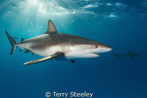 Caribbean reef shark in the dapple light.