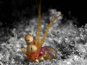 A mantis shrimp peeping out of its hiding place before ma... by Adeline Wee