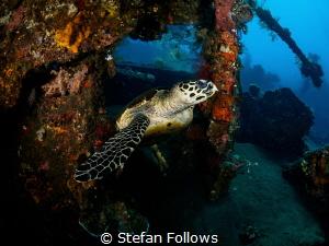 The Keeper. Hawksbill Turtle - Eretmochelys imbricata. Li... by Stefan Follows