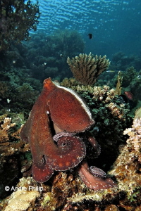 """That´s my reef...!"" - Amazing and smart Day Octopus (Oct... by Andre Philip"