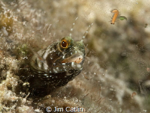 'Mouthful'...A blenny hunting bloodworms by night. This w... by Jim Catlin