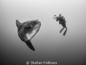 Mind Meld. Southern Ocean Sunfish - Mola ramsayi. Mimpang... by Stefan Follows