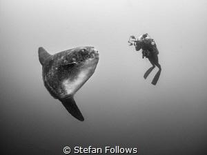 Mind Meld. Southern Ocean Sunfish - Mola ramsayi. Mimpang... by Stefan Follows