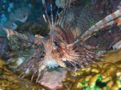 Lionfish taken at Paradise reef, Sharm el Sheikh with Nik... by Nikki Van Veelen