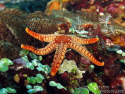 Pebbled red sea star and green sea squirts by Laura Dinraths