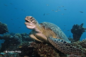 Yaaaawning Green Sea Turtle by Andre Philip
