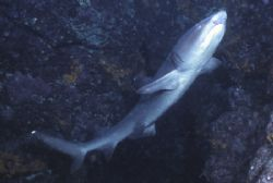 White Tip shark found in a cave in the Galapgos. by David Spiel