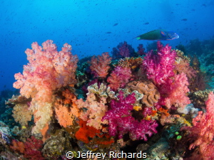A colorful soft coral reef scene in Fiji. by Jeffrey Richards