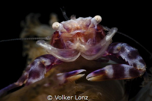 porcelain crab by Volker Lonz