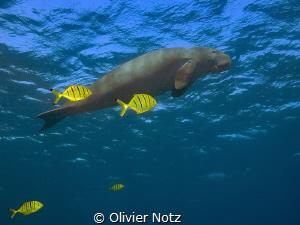 Dugong with golden pilot jacks by Olivier Notz