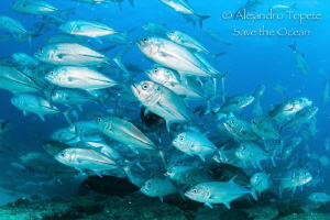 Jacks in group, Cabo Pulmo Mexico by Alejandro Topete