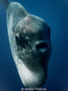 Cruse Control. Southern Ocean Sunfish - Mola ramsayi. Pan... by Stefan Follows