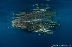 One of the Many Whale sharks gathering offshore of Qatar by Henrik Gram Rasmussen