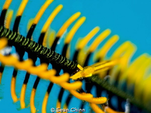 Shallow DOF of Crinoid Shrimp by Sean Chinn