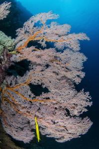 Gorgonia and yellow trumpetfish by Dmitry Starostenkov