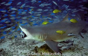 Shark Dive...Beqa Lagoon by Chris Miskavitch