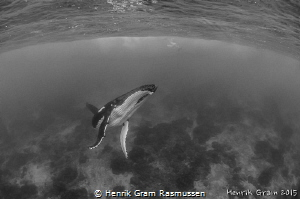 Southern Humpback Whale by Henrik Gram Rasmussen