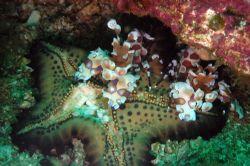2 clown schrimp enjoying a starfish, we were lucky to pas... by Martin Van Gestel