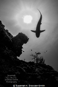 """""""Swish"""" During a shark dive in Roatan, the sharks were c... by Susannah H. Snowden-Smith"""
