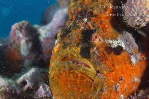 Frogfish close up, Veracruz México by Alejandro Topete
