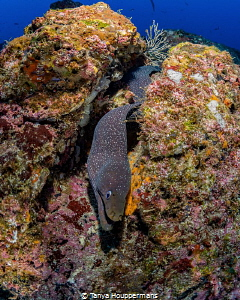 That's A Moray! A spotted moray eel at Cocos Island, Cos... by Tanya Houppermans