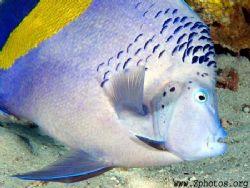 Yellowbar Angelfish are very photo friendly.... by Zaid Fadul