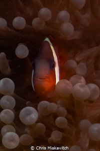 Tomato Clown fish being shy. by Chris Miskavitch