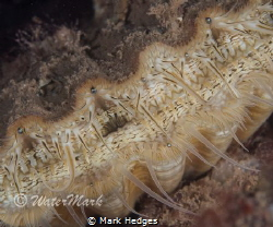 closse up image of scallop by Mark Hedges