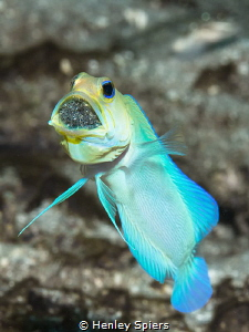 Finally got a shot of a brooding Yellowhead Jawfish! by Henley Spiers