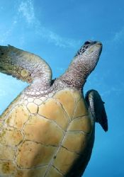 """The belly of the Great Green Sea Turtle. The """"great"""" part... by Glenn Poulain"""