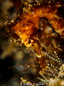 Golden Brown. Thorny Seahorse - Hippocampus histrix. Bali... by Stefan Follows