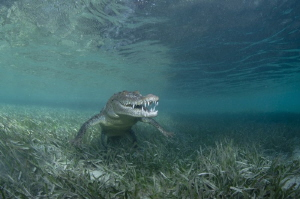 Cutie croc by Dmitry Starostenkov