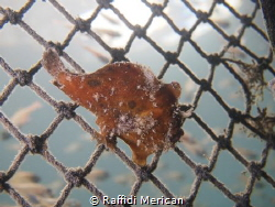 Frogfish sitting on a barricade net at 3m. Taken at ND Di... by Raffidi Merican