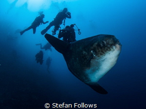 Crosstown Traffic. Southern Ocean Sunfish - Mola ramsayi.... by Stefan Follows