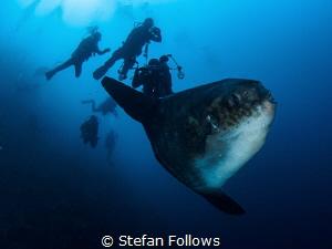 Crosstown Traffic. Southern Ocean Sunfish - Mola ramsayi.... by Stefan Follows