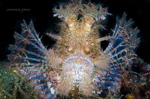 Rhinopias fondosa - Weedy scorpionfish by Wayne Jones