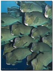 Green humphead parrotfish (Bolbometopon muricatum), Sipad... by Reinhard Arndt
